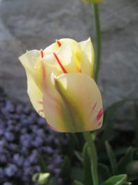 Tulipa  'Flaming Springgreen' - tulipán