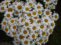 margaréta veľkoúborová Leucanthemum maximum  'Snow Lady'