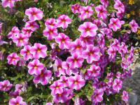 calibrachoa Calibrachoa  'Callie Star Pink'