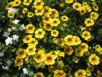 Calibrachoa  'Calita Yellow Red Morn' - calibrachoa