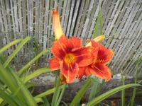 Hemerocallis 'Holiday Delight'  ľaliovka kvety