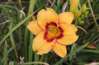 Hemerocallis 'Two Part Harmony'  ľaliovka kvety
