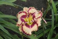 Denivka Born To Be Wild (Hemerocallis hybrida)