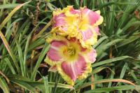 Denivka Sweet Cotton Candy (Hemerocallis hybrida)