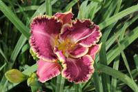 Denivka Jennifer Trimmer (Hemerocallis hybrida)