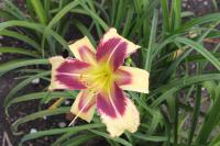 Hemerocallis  'Dimensional Shift'  ľaliovka kvety