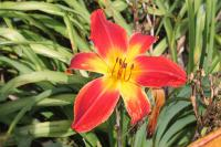 Hemerocallis  'All American Chief' - ľaliovka