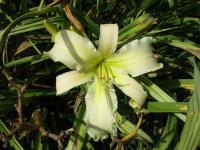 Hemerocallis  'Heavenly White Lightening'  ľaliovka kvety