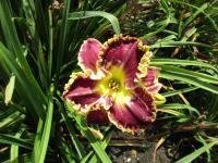 Denivka When Royals Dream (Hemerocallis hybrida)