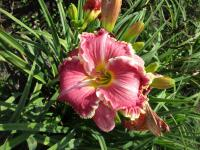 Hemerocallis 'The Big Picture'  ľaliovka kvety