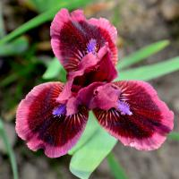 Iris  'Cats Eye' - kosatec