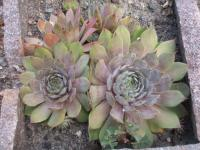 skalnica Sempervivum hybridum  'Bottle of Griotte'