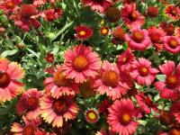 kokarda osinatá Gaillardia aristata  'Arizona Red Shades'