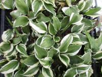 Hosta  'Diamond Tiara' - funkia