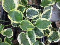Hosta  'Anne' - funkia