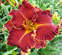 (Hemerocallis hybrida) Denivka Spacecoast Gwen Denny