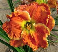 ľaliovka Hemerocallis  'Texas Big Bend'