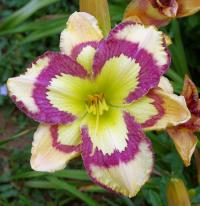 ľaliovka Hemerocallis  'Violet Stained Glass'