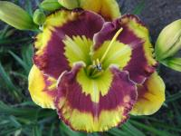 Hemerocallis  'New Paradigm' - ľaliovka