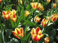 Tulipa  'Color Spectacle'  tulipán kvety