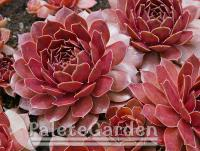 Sempervivum Pacific Devils Food (Sempervivum Pacific Devils Food)