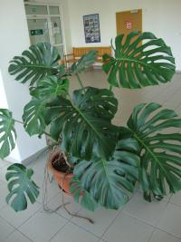 Monstera skvostná (Monstera deliciosa)