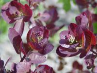 Cotinus coggygria     'Royal Purple'  škumpa vlasatá listy