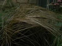 Carex comans  'Bronze' - ostrica