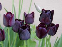 (Tulipa) Tulipán 'Queen of Night'