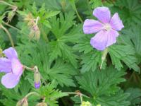 Geranium  'Johnson's Blue' - pakost