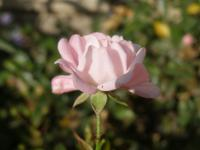 Rosa               'The Fairy'  ruža kvety