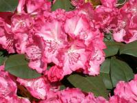 Rhododendron        'Germania'  rododenderon kvety