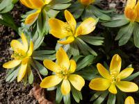 Winterlinge (Eranthis)