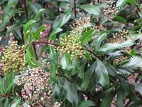Marlberry - flowers (Ardisia escallonioides)
