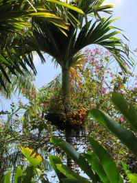 Betel palm - habit (Areca catechu)