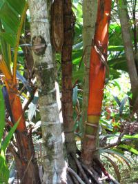 Orange crownshaft palm - trunk (Areca vestiaria)