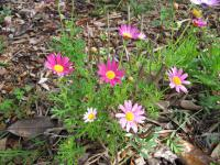 (Argyranthemum frutescens) Paris daisy - flowering habit