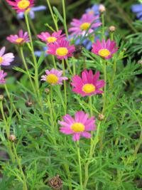 (Argyranthemum frutescens) Paris daisy - flowers