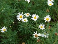 (Argyranthemum frutescens) Paris daisy - flowers and leaves