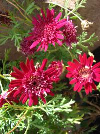 (Argyranthemum frutescens) Paris daisy - Crested Merlot flowers