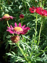 (Argyranthemum frutescens) Paris daisy - Crested Merlot flowers and leaves