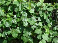 Elephant Creeper - leaves (Argyreia nervosa)
