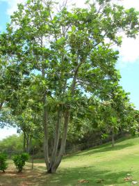 (Artocarpus altilis) Breadfruit Tree - habit