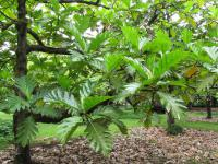 (Artocarpus altilis) Breadfruit Tree - leaves