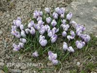 Crocus vernus  'Striped Beauty' - šafran