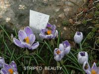 Crocus vernus  'Striped Beauty'  šafran rastlina