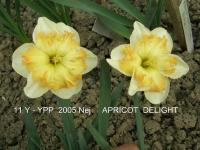 Narcissus  'Apricot Delight'  narcis kvety
