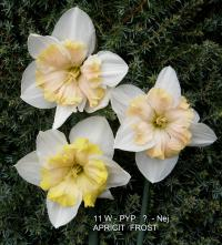 Narcissus  'Apricot Frost' - narcis