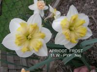 Narcissus  'Apricot Frost'  narcis kvety