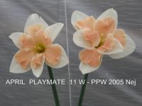 Narcissus 'April Playmate'  narcis kvety